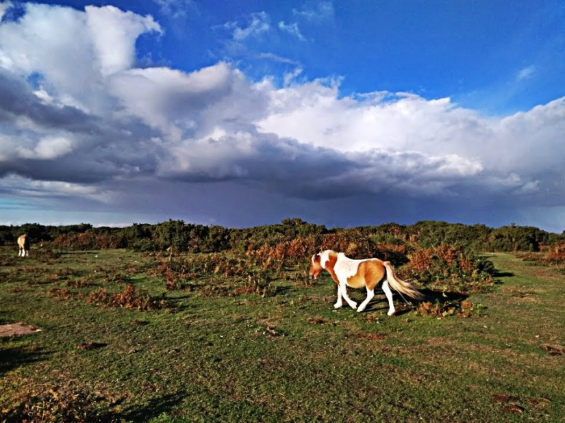 New Forest –Burley