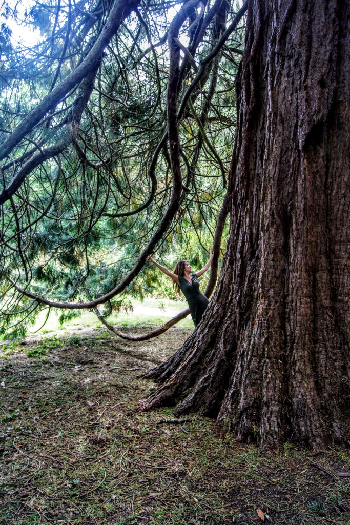 Upper Gardens in Bournemouth, Wellingtonia Sequoiadendron giganteum from Sierra Nevada.