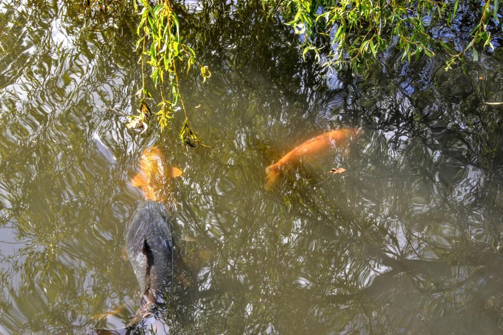Coy pond, Poole