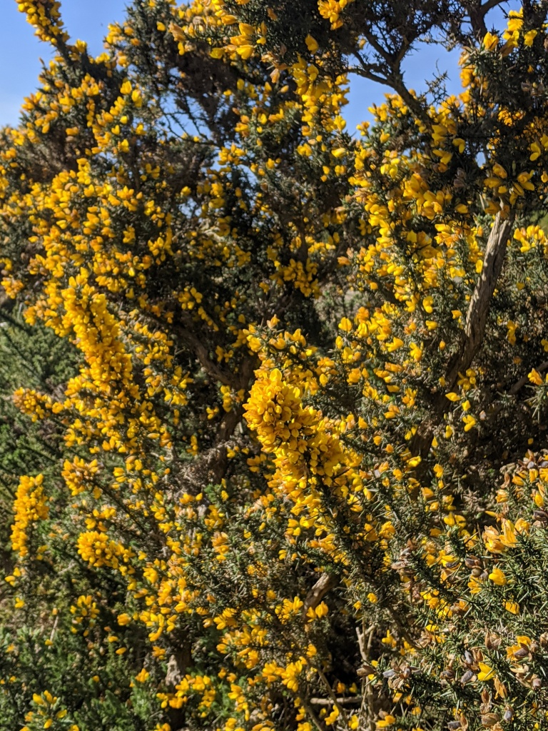 yellow gorse. Wild flowers UK